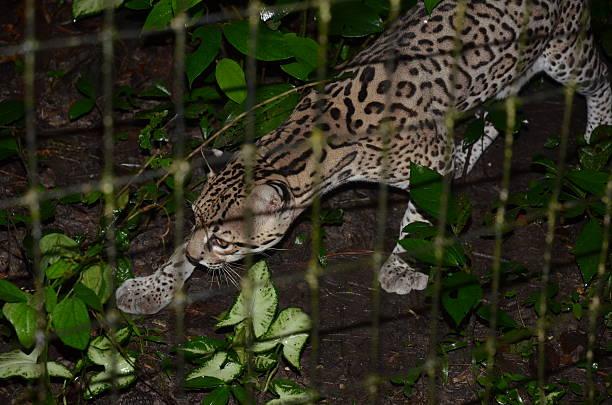 ocelot dans un enclos - cage animal nuit photos et images de collection