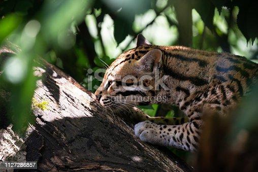 istock Ocelot in jungle tree branches 1127286857