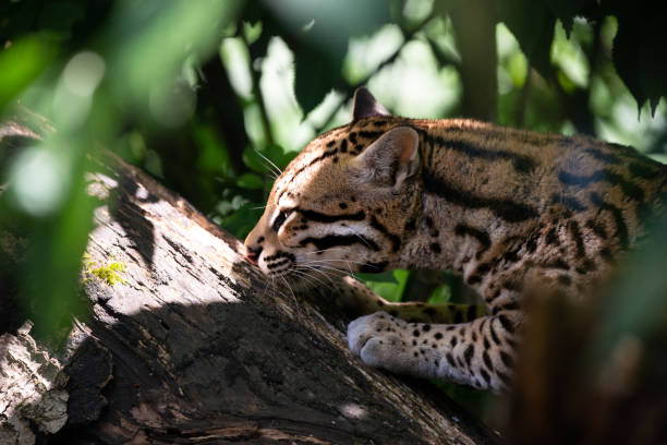 Ocelot in jungle tree branches stock photo
