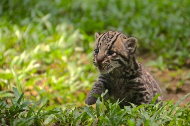 ocelot kitten - ocelot foto e immagini stock