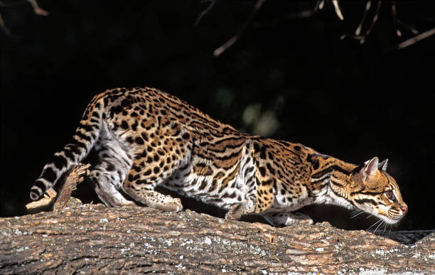 ocelot, leopardus pardalis, adult standing on branch - ocelot foto e immagini stock