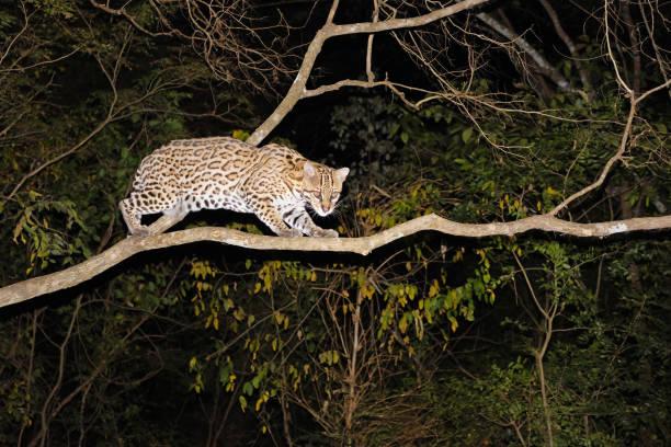 ocelot, leopardus pardalis, at night, miranda, mato grosso do sul, brazil, south america - ocelot foto e immagini stock