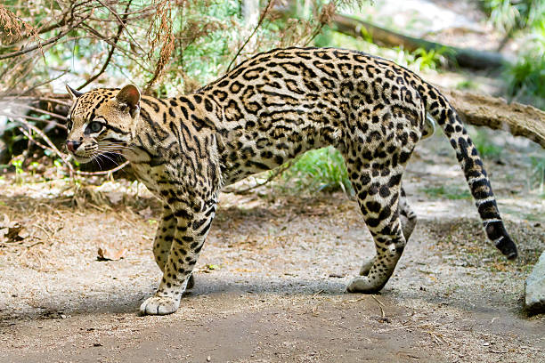Ocelot, stock photo