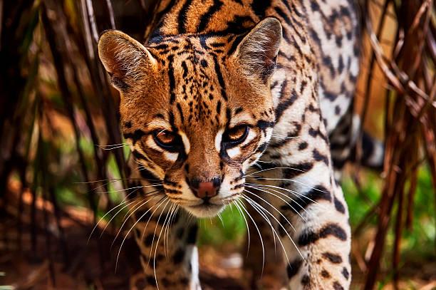 ocelot (leopardus pardalis - ocelot foto e immagini stock