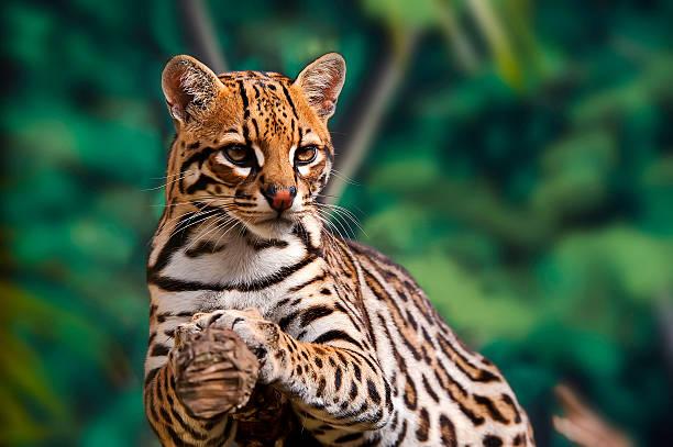 ocelot (leopardus pardalis - fauna selvatica foto e immagini stock