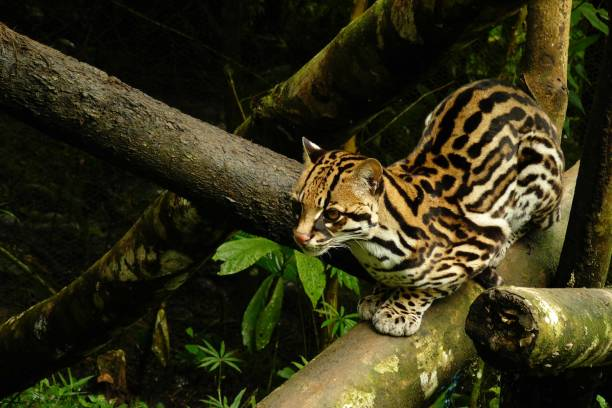 ocelot sitting on a branch with a golden fur looking in the distance - ocelot foto e immagini stock
