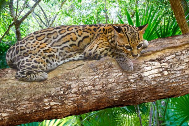 ocelote leopardus pardalis ocelot cat - ocelot foto e immagini stock