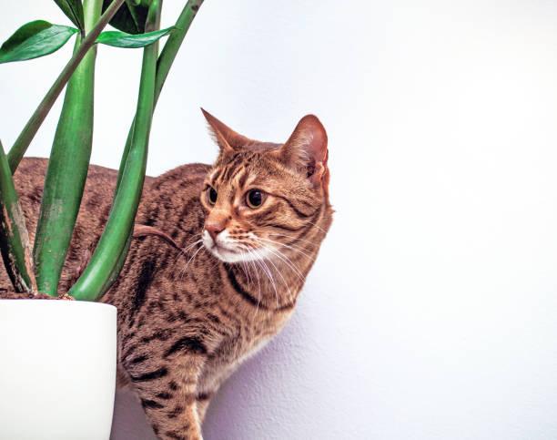 ocicat cat near flower on white wall background, housecat indoor, copy space - ocicat foto e immagini stock