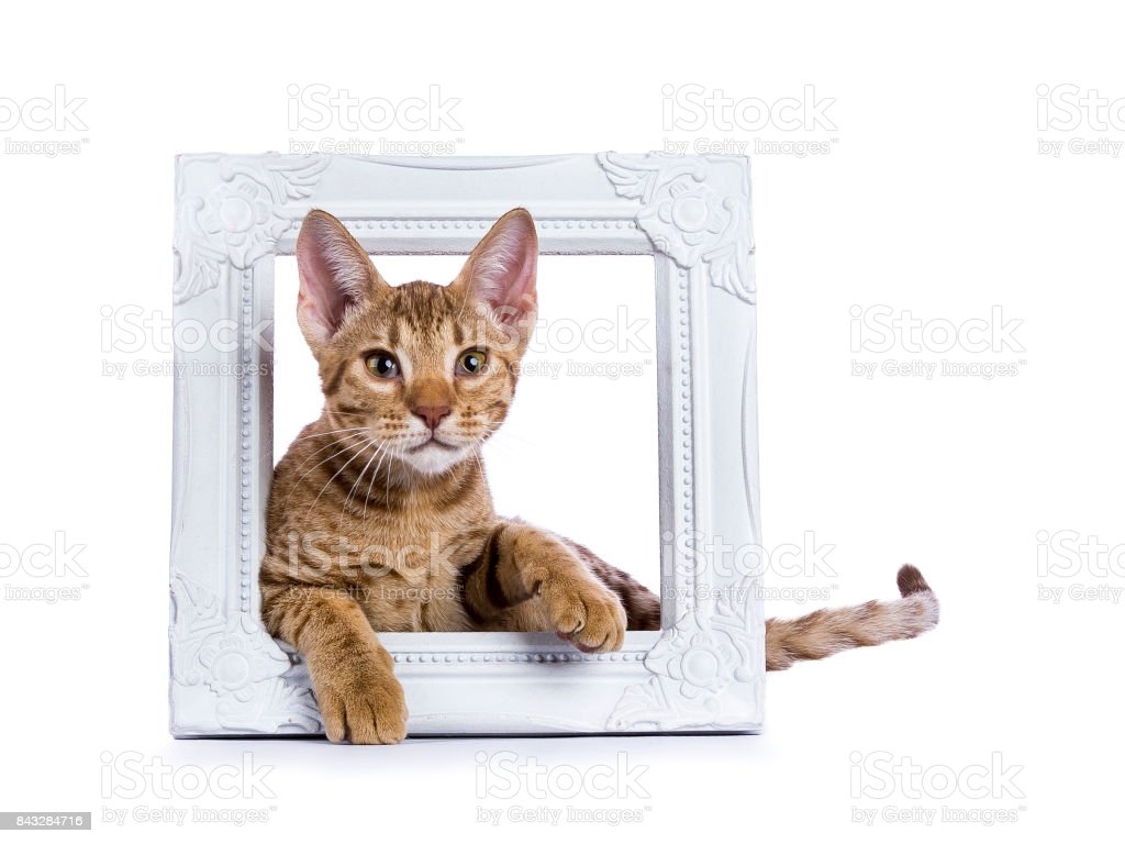 Ocicat kitten leggen in witte houten fotolijst geïsoleerd op witte achtergrond foto