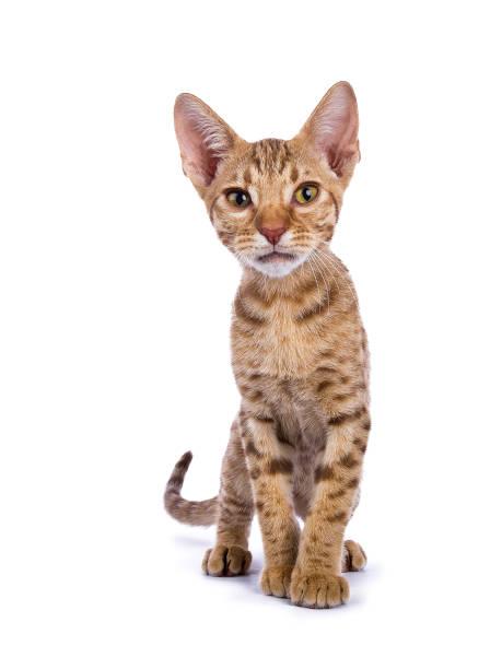 gattino ocicat curioso nell'obiettivo isolato su sfondo bianco - ocicat foto e immagini stock