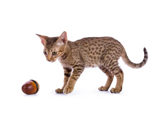 gattino ocicat che gioca con ghianda isolato su sfondo bianco - ocicat foto e immagini stock
