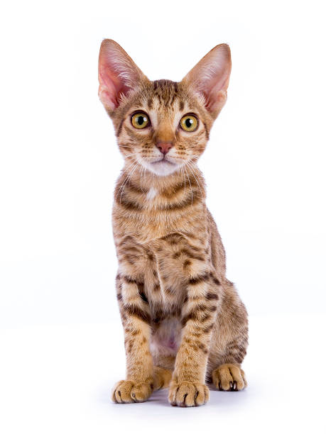 gattino ocicat seduto isolato su sfondo bianco - ocicat foto e immagini stock