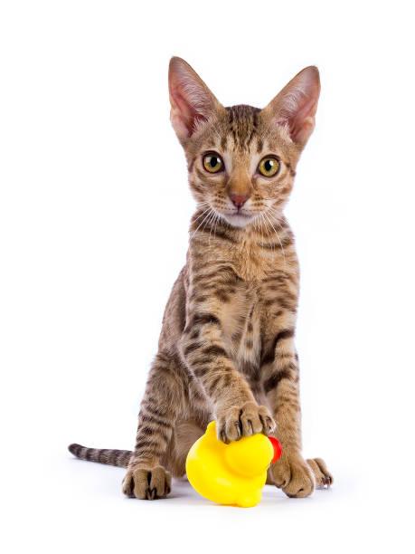 gattino ocicat seduto con zampa su anatra di gomma isolata su sfondo bianco - ocicat foto e immagini stock