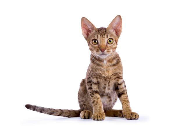 gattino ocicat seduto con la coda a lato isolato su sfondo bianco - ocicat foto e immagini stock