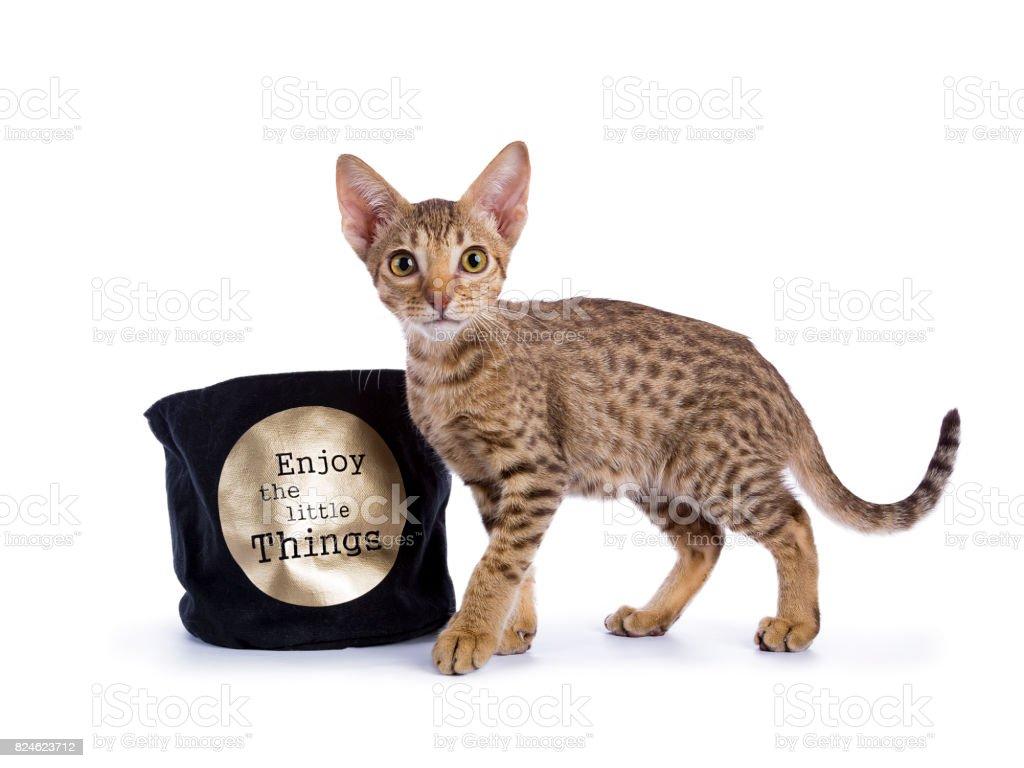 Ocicat kitten staande met mandje geïsoleerd op witte achtergrond foto