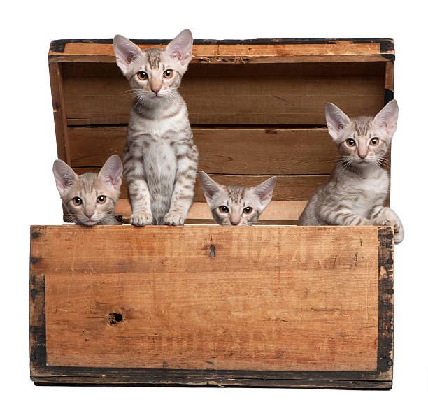 ocicat gattini, 13 settimane, emergenti dalla scatola in legno - ocicat foto e immagini stock