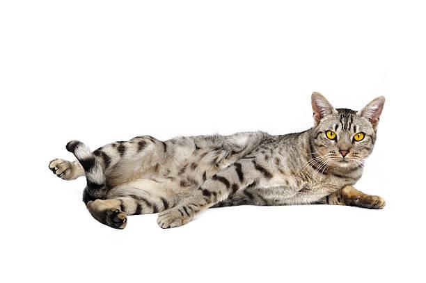 ocicat gatto maschio - ocicat foto e immagini stock