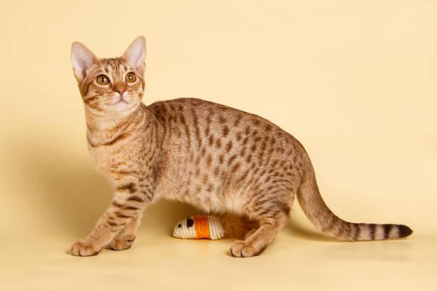 ocicat spotted cat on colored backgrounds - ocicat foto e immagini stock