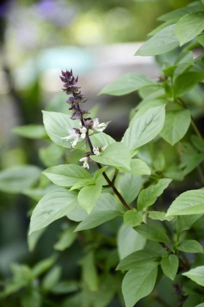 ocimum basilicum-pflanze - ocimum tenuiflorum stock-fotos und bilder