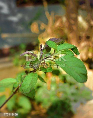 Ocimum tenuiflorum (synonym Ocimum sanctum), commonly known as holy basil, tulasi (sometimes spelled thulasi) or tulsi, is an aromatic perennial plant in the family Lamiaceae.