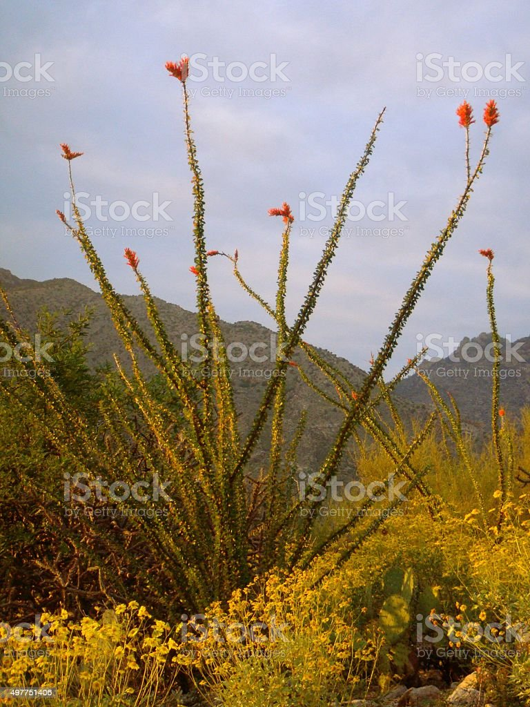 Ocotilla Cactus in Catalina Mountains of Tucson stock photo