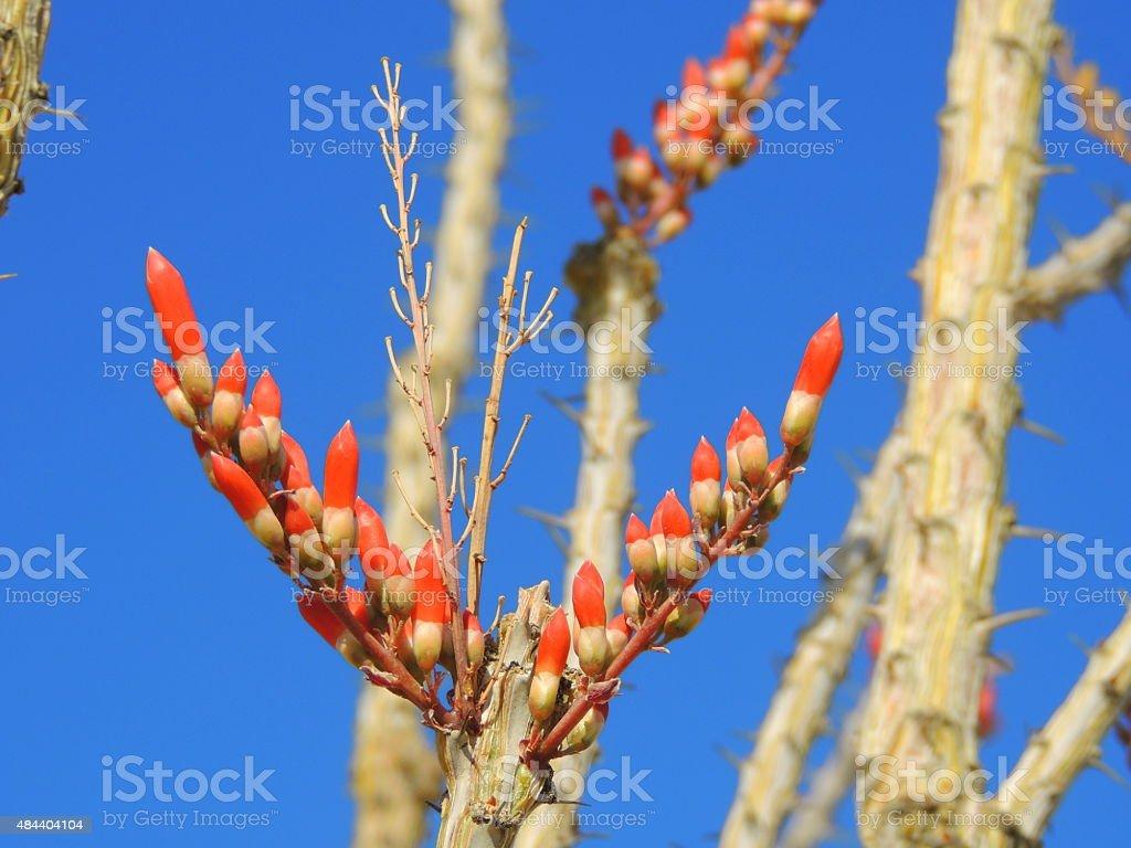 Ocotillo bloom stock photo