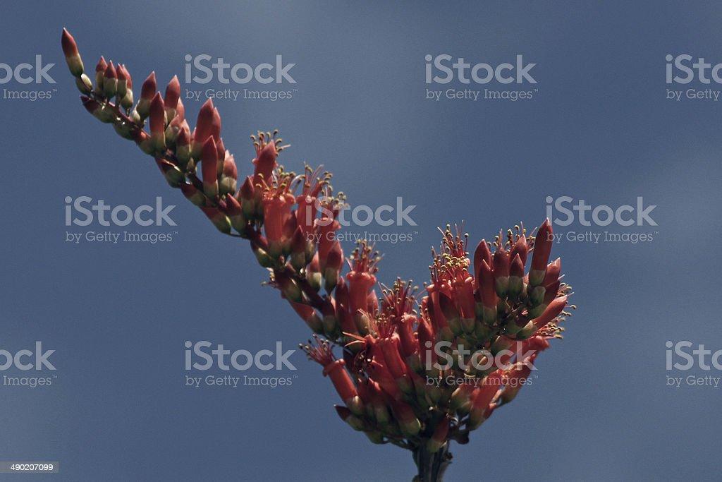 Ocotillo blossom, (Fouquieria splendens) royalty-free stock photo
