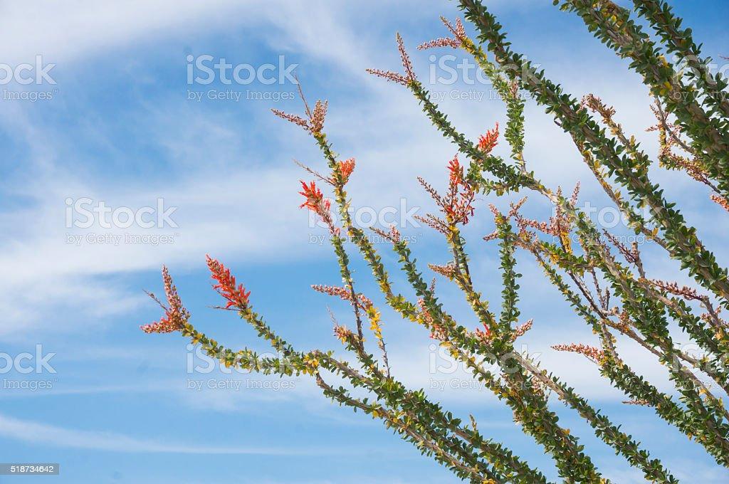 Ocotillo Blossoms stock photo
