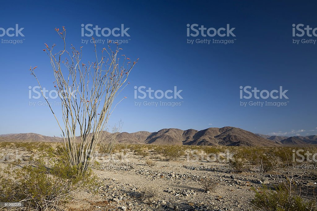 Ocotillo Cactus and Blue Sky royalty-free stock photo