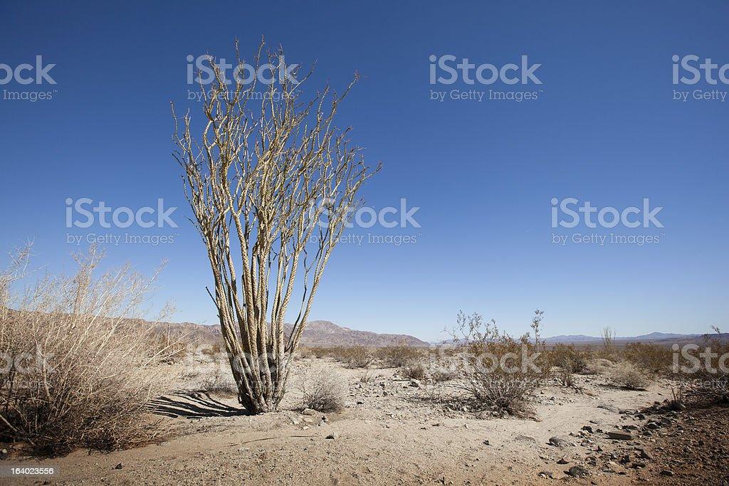 Ocotillo Cactus royalty-free stock photo