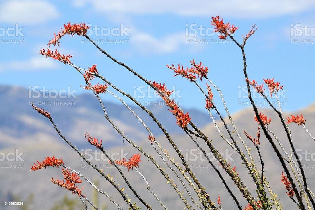 Ocotillo Cactus stock photo