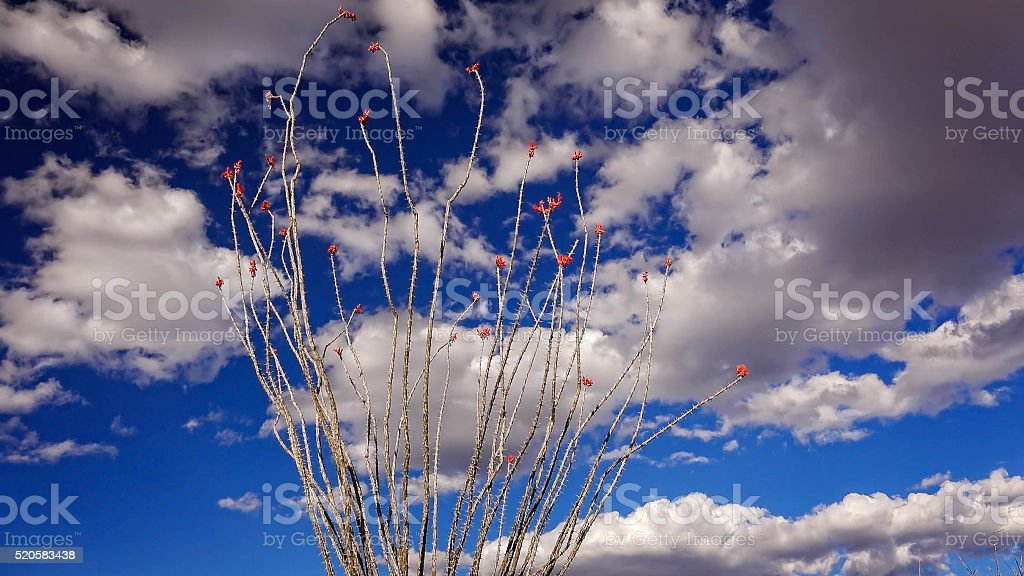 Ocotillo Cactus, Sky and Clouds in Big Bend National Park stock photo