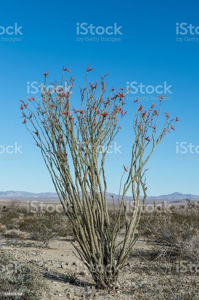 Ocotillo Desert Plant stock photo