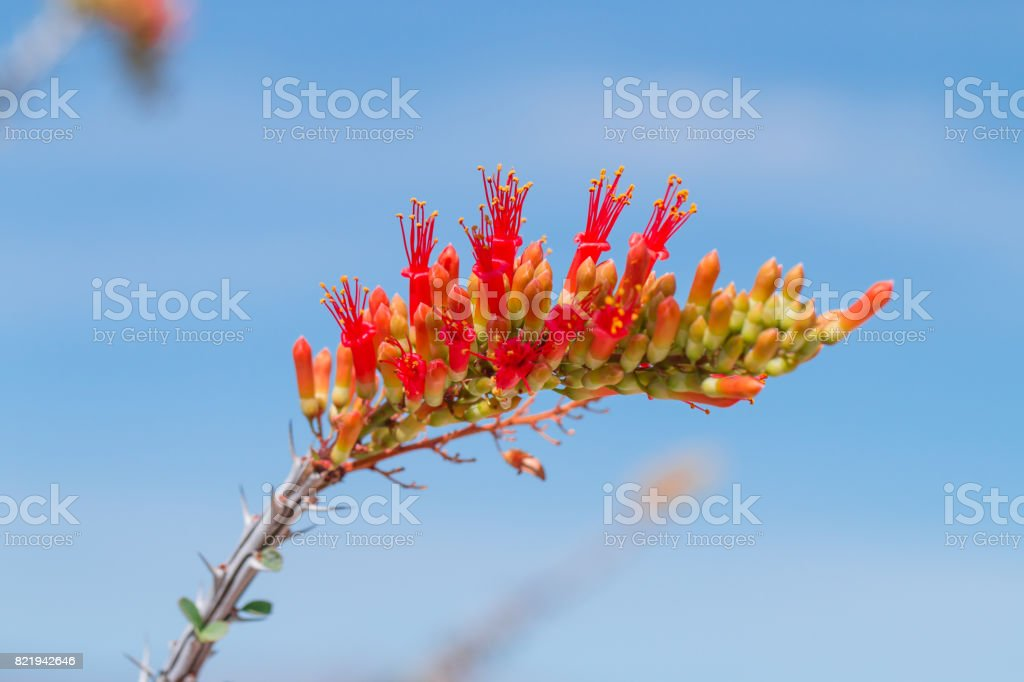 Ocotillo flowers blooming. stock photo
