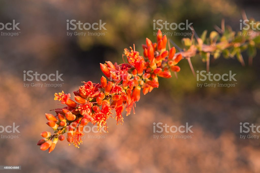 Ocotillo Flowers Overhead stock photo