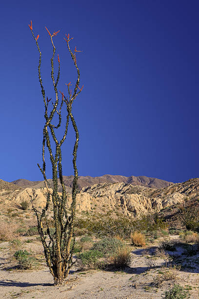 Ocotillo in Blook stock photo