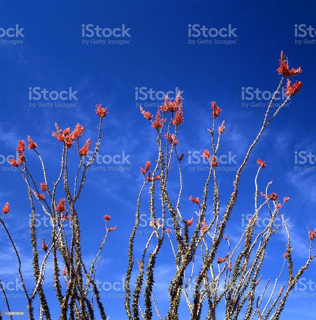 Ocotillo In Bloom stock photo