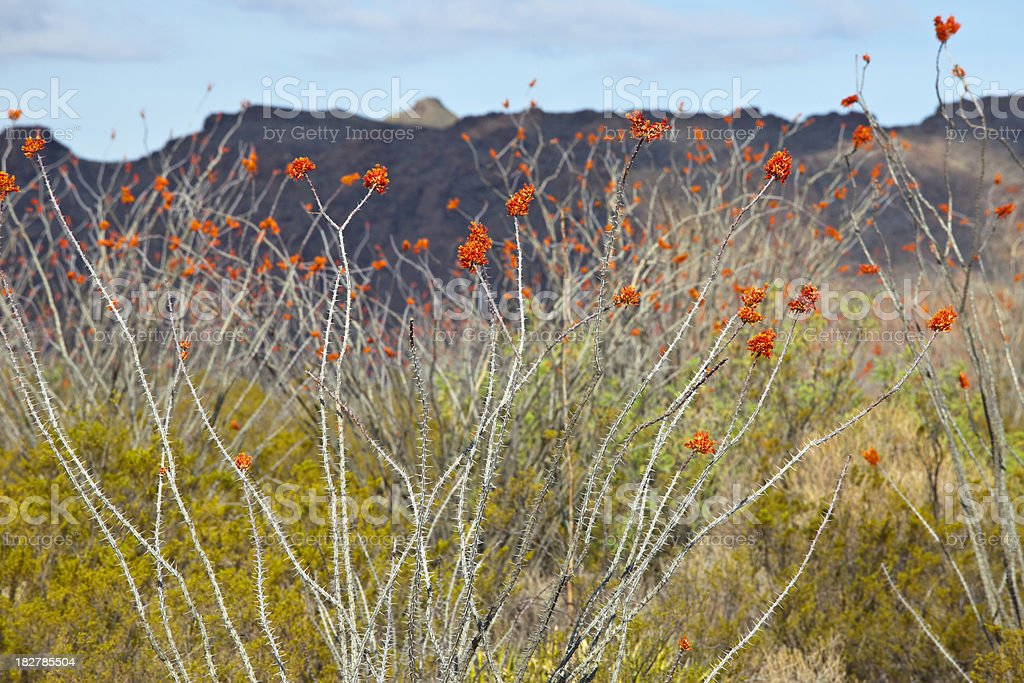 Ocotillo In Full Bloom at Big Bend National Park stock photo