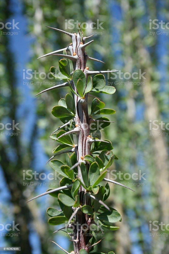 Ocotillo Leaves 2 stock photo