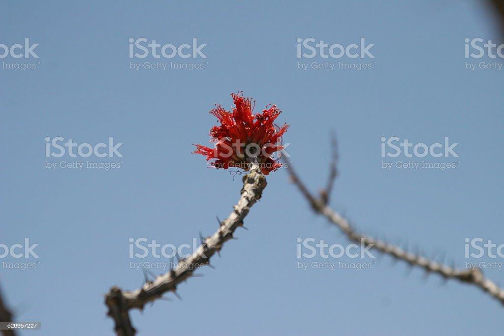 Ocotillo Plant stock photo