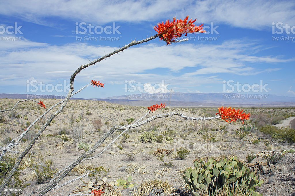 ocotillo plant with two red blooms in the desert stock photo