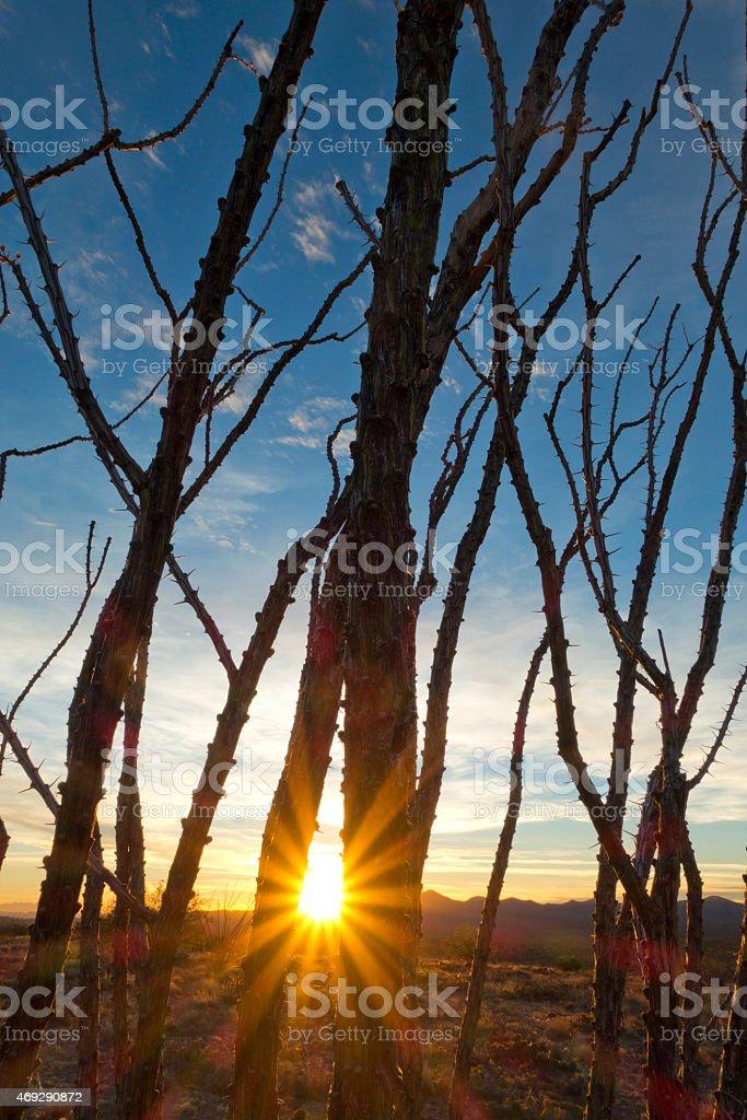 Ocotillo winter sunset stock photo