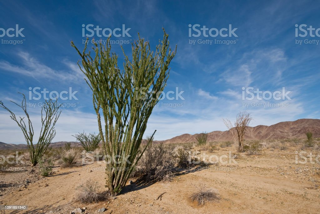 Ocotillo With Leaves stock photo