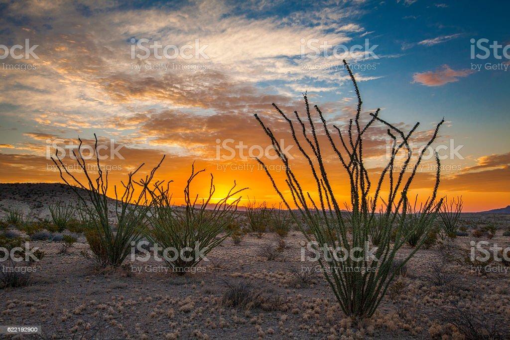 ocotillos at sunrise stock photo