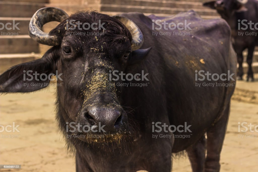 October 31, 2014: A bull in Varanasi, India stock photo