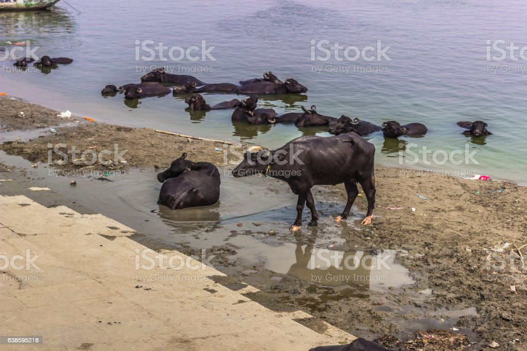 October 31, 2014: Bulls in Varanasi, India stock photo