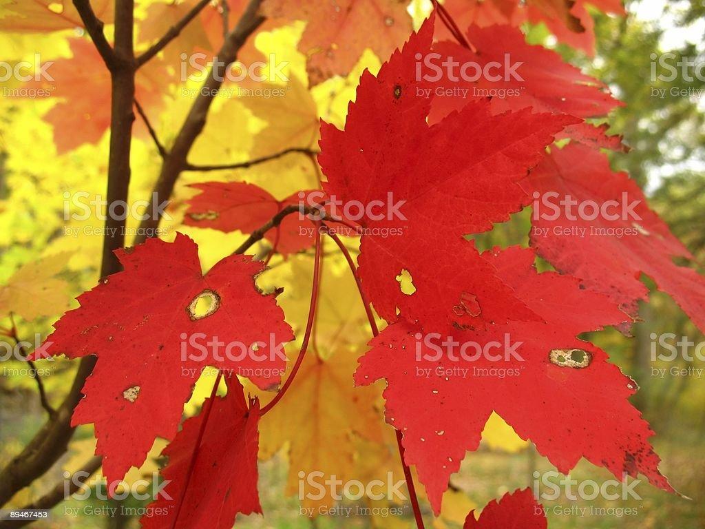 October Maple Combo royalty-free stock photo