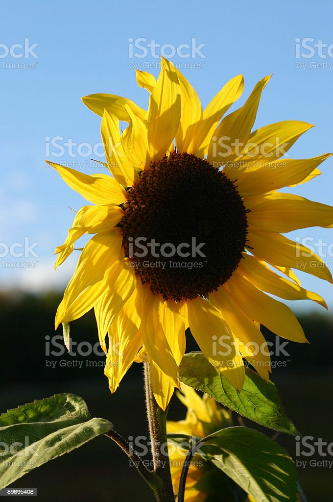 October sunflower royalty-free stock photo