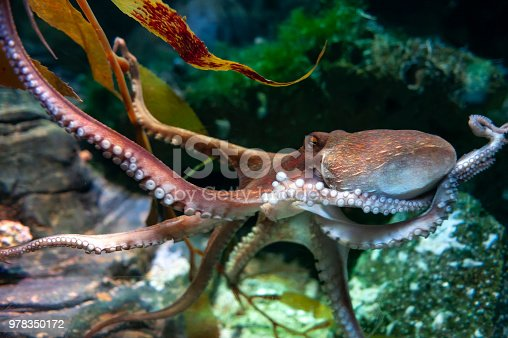 istock Octopus (Octopus vulgaris), a soft-bodied, eight-armed mollusc grouped within the class Cephalopoda with squids, cuttlefish and nautiloids, in an aquarium 978350172