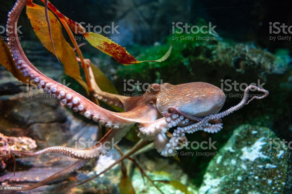 Octopus (Octopus vulgaris), a soft-bodied, eight-armed mollusc grouped within the class Cephalopoda with squids, cuttlefish and nautiloids, in an aquarium stock photo